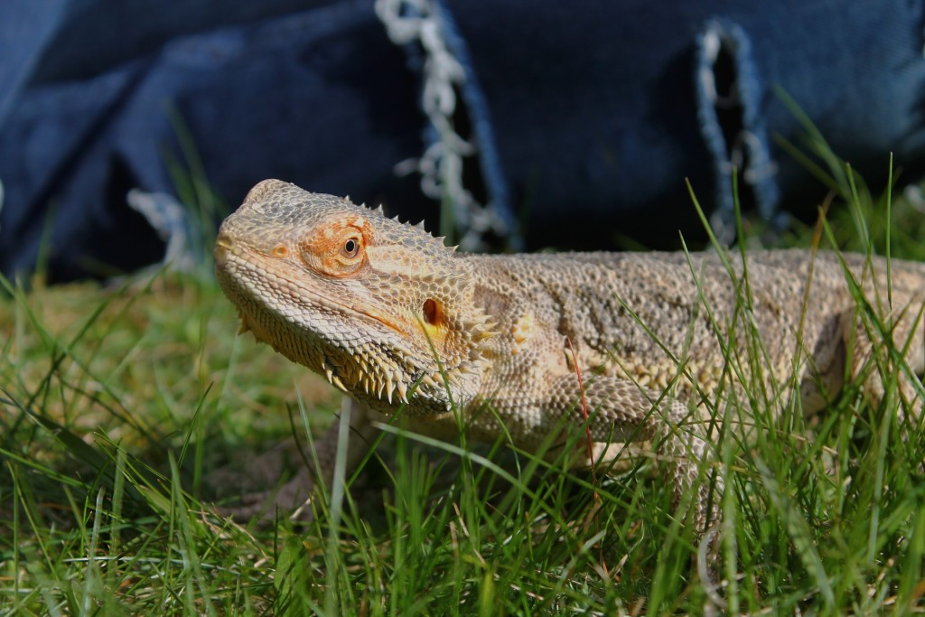 bearded-dragon-742192_1920